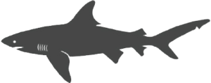 great-white-shark_transparent