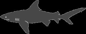 great-white-shark_transparent